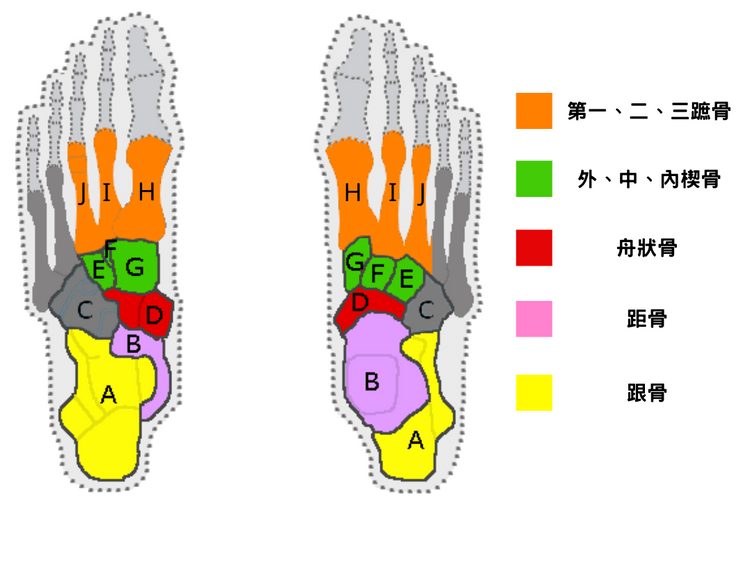 Bone structure of medial longitudinal arch