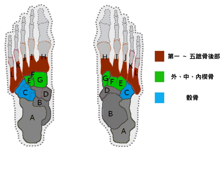 Bone structure of Transversal arch